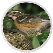 Black-headed Grosbeak Female Round Beach Towel