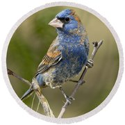 Blue Grosbeak Round Beach Towel