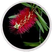 Callistemon Citrinus - Crimson Bottlebrush Hawaii Round Beach Towel