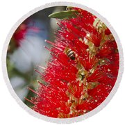 Callistemon Citrinus - Crimson Bottlebrush Round Beach Towel