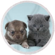Chihuahua Puppy And British Shorthair Round Beach Towel