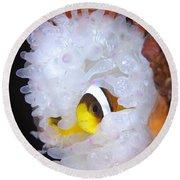 Clarks Anemonefish In White Anemone Round Beach Towel by Steve Jones