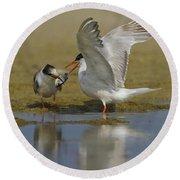 Common Tern Sterna Hirundo Round Beach Towel by Eyal Bartov