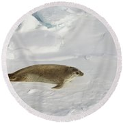 Crabeater Seal, Antarctica Round Beach Towel