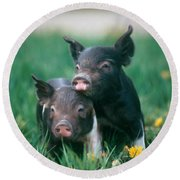 Domestic Piglets Round Beach Towel