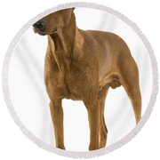 German Or Standard Pinscher Round Beach Towel