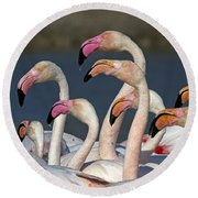 Greater Flamingos, France Round Beach Towel