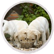 Labrador Puppies Eating Round Beach Towel