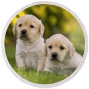 Labrador Puppies Round Beach Towel