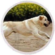 Labrador Retriever Dog Round Beach Towel