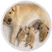 Labrador With Young Puppies Round Beach Towel