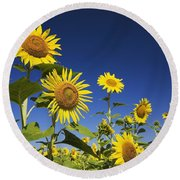 Laval, Quebec, Canada Sunflowers Round Beach Towel