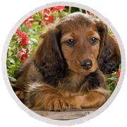 Long-haired Dachshund Round Beach Towel