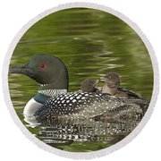 Loon Parent With Two Chicks Round Beach Towel