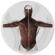 Male Muscle Anatomy Of The Human Back Round Beach Towel