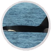 Male Orca Killer Whale In Monterey Bay California 2013 Round Beach Towel