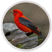 Male Scarlet Tanager Round Beach Towel