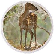 Mesopotamian Fallow Deer 5 Round Beach Towel