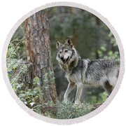 Mexican Grey Wolf 1 Round Beach Towel