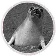 Northern Elephant Seal Weaner Round Beach Towel