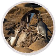 Nz Yellow-eyed Penguins Or Hoiho Feeding The Young Round Beach Towel