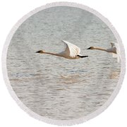 Pair Of Flying Trumpeter Swans Cygnus Buccinator Round Beach Towel