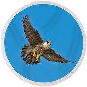 Peregrine Falcon In Flight Round Beach Towel