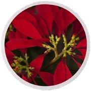 Poinsettia  - Euphorbia Pulcherrima Round Beach Towel