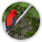 Scarlet Tanager  Round Beach Towel