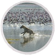 Spotted Hyaena Hunting For Food Round Beach Towel