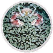 Spotted Porcelain Crab In Anemone Round Beach Towel