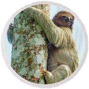 Three-toed Sloth Bradypus Tridactylus Round Beach Towel