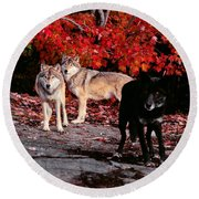Timber Wolves Under  A Red Maple Tree Round Beach Towel