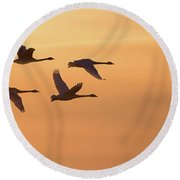 Trumpeter Swans In Flight At Sunset Round Beach Towel