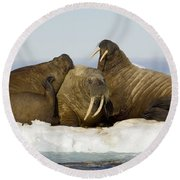 Walruses Resting On Ice Floe Round Beach Towel