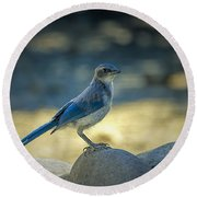 Western Scrub Jay Thief Round Beach Towel