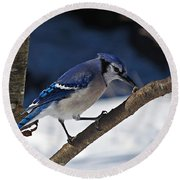 Hungry Winter Blue Jay Round Beach Towel
