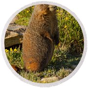 Yellow Bellied Marmot On Alert In  Rocky Mountain National Park Round Beach Towel
