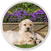 Yellow Labrador Puppies Round Beach Towel