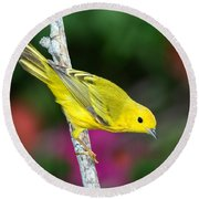Yellow Warbler Dendroica Petechia Round Beach Towel