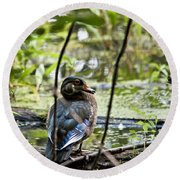 Young Wood Duck Round Beach Towel