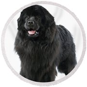 Newfoundland Dog Round Beach Towel