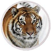Tigre De Siberie Panthera Tigris Altaica Round Beach Towel