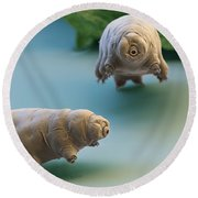 Water Bear Round Beach Towel by Eye of Science and Science Source