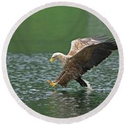 White-tailed Sea Eagle In Norway Round Beach Towel