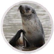 Antarctic Fur Seal Round Beach Towel