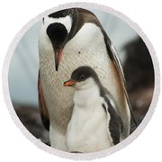 Gentoo Penguin With Young Round Beach Towel