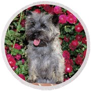 1990s Cairn Terrier Dog Standing Round Beach Towel