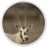 Arabian Oryx Oryx Leucoryx Round Beach Towel
