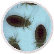 Bed Bugs Cimex Lectularius Round Beach Towel